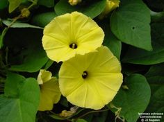 Семена цветов бонсай завод украшения сада завод желтый ипомеи семена цветов вьющихся растений семена бесплатная доставка 100 шт.
