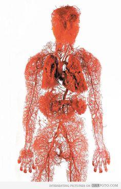 Cool circulatory system model