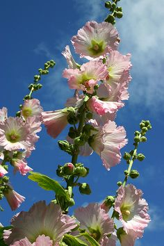https://flic.kr/p/6EMGiR | Stockrose | hollyhocks at the sidewalk in Kiel
