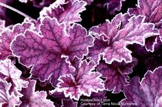 Heuchera 'Midnight Bayou' --Large, purple, black-veined leaves on this striking plant. Leaves change colors through the season - reddish purple in spring to silvered purple later in the season. Pale pink to white flowers on tall scapes