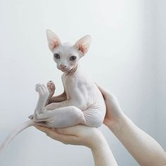 Top 10 des plus beaux chats sphynx ! - Hairless Cat - Ideas of Hairless Cat - Chat Sphynx The post Top 10 des plus beaux chats sphynx ! appeared first on Cat Gig. Cute Baby Animals, Animals And Pets, Funny Animals, Anime Animals, Wild Animals, Beautiful Cats, Animals Beautiful, Pretty Cats, Beautiful Women