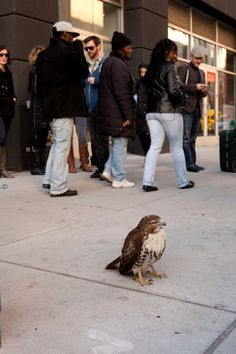 I said we have it all but I really didn't know that there was  a hawk just hanging out in downtown Brooklyn