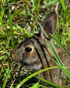 2006 Photograph, Eastern Cottontail Rabbit (Sylvilagus floridanus), Occoquan Bay NWR, Woodbridge, Virginia © 2013.