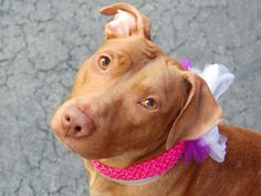 TO BE DESTROYED 4/22/14  Manhattan Center -P   My name is ANDROMEDA. My Animal ID # is A0996614.  I am a female brown pit bull mix. The shelter thinks I am about 8 MONTHS old.   I came in the shelter as a STRAY on 04/14/2014