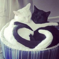 Black cat: relax my darling!!!!  White cat:  I love you sweets!!!
