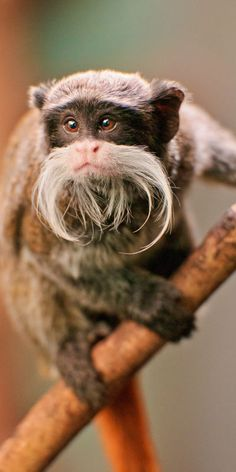SOUTH AMERICA - Emperor tamarin (Saguinus imperator) is a species of tamarin allegedly named for its resemblance to the German emperor Wilhelm II. It lives in the southwest Amazon Basin, in east Peru, north Bolivia and in the west Brazilian states of Acre and Amazonas.
