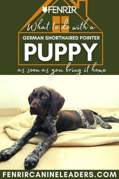 Collecting your German Shorthaird Pointer puppy but not sure what to do when you get it home? Check out our lastest upload looking at the top things to do as soon as your puppy gets home! More awesome dog information at Fenrir Canine Show and Fenrir Canine Leaders. German Dog Breeds, Large Dog Breeds, Best Dog Breeds, Large Dogs, Best Dogs, Weimaraner, Doberman, Pointer Puppies, Giant Schnauzer