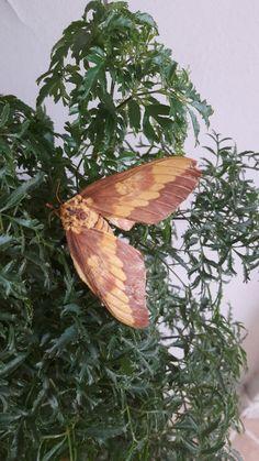 Mariposa que fez morada na minha planta.