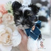 Toy or Teacup Yorkies for sale   Teacup Puppies & Boutique Micro Teacup Yorkie, Teacup Yorkie For Sale, Yorkie Puppy For Sale, Toy Yorkie, Biewer Yorkie, Yorkies, Wire Fox Terrier Puppies, Toy Yorkshire Terrier, Airline Approved Pet Carrier