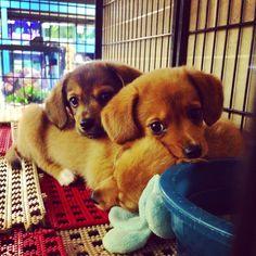 pomeranian beagle mix, dying from cuteness!