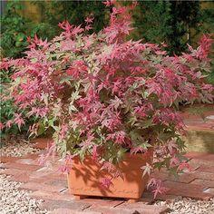 1 X ACER PALMATUM 'BENI-MAIKO' JAPANESE MAPLE DECIDUOUS SHRUB HARDY PLANT IN POT Thumbnail 1