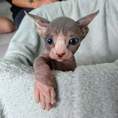 14 Sphynx Babies That Can Charm Even Those Who Don't Like Cats Barbara F.W Faune sur terre, eau et dans l'air supersonickittens purrphynx peachfuzzsphynx hr_pippi sphynx_missblue_missebene sphynx_aqua sphyn Cute Hairless Cat, Chat Sphynx, Cute Cats, Funny Cats, Baby Animals, Cute Animals, Baby Giraffes, Hypoallergenic Cats, Gatos Cat
