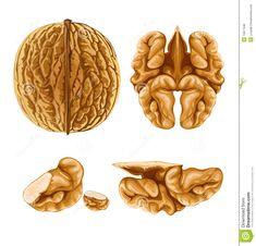 """WALNUT BRAIN FOOD """"Nothing could be more beautiful or poetic than when a healing food actually looks like the organ system it nourishes and heals in the body. Palm Tree Silhouette, Silhouette Vector, Free Vector Images, Vector Art, Shell Drawing, Vector Graph, Pumpkin Vegetable, Pumpkin Vector, Tatoo"""