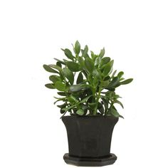 """Crassula Ovata Jade Plant 16"""" Tall in a Black Hexagonal Glazed Ceramic... ($53) ❤ liked on Polyvore featuring plants, fillers, fillers - plants, green and nature"""