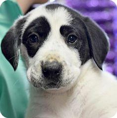 Memphis, TN - Basset Hound/Labrador Retriever Mix. Meet Vane, a puppy for adoption. http://www.adoptapet.com/pet/17513611-memphis-tennessee-basset-hound-mix