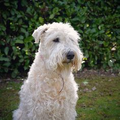 soft coated wheaten terrier #softcoatedwheatenterrier #dog #dogs
