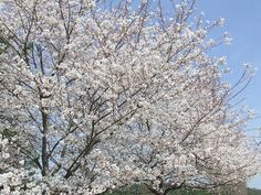 Cherry trees in bloom at Daniel Stowe Botanical Garden