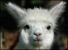 Alpaca Farming/Homesteading