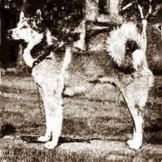 """ЗЫРЯНСКАЯ ЛАЙКА Рост: Средней высотой нужно считать 56 см. с отклонением в обе стороны на 2—3 см. В редких случаях отдельные экземпляры достигают 60—65 см. Вес: должен соответствовать росту собаки.  Окрас:черный с подпалинами. Кроме того, встречаются экземпляры различных оттенков серого: светло-серо-желтые, темносерые волчие, серые с голубизной. Пестрые окрасы обычно не встречаютсяИз книги: Ливеровский Ю. """"Лайка и охота с ними"""", 1927 г."""