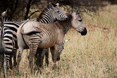 Unusual Grant's zebra - photographed by Molly Campbell