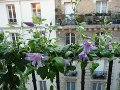 Clematis Blue River sur mon balcon en début d'été, Paris 19e (75)