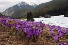 Tatra Mountains are the most popular range of Polish Carpathians. Tatras occupy a part of Poland and Slovakia. The highest peak in Poland is Rysy (2500 m). The High Tatras are more dangerous than the West Tatras which are lower. The heart of the Tatras and Podhale region is Zakopane city / Fot. Marek Podmokły / Agencja Gazeta