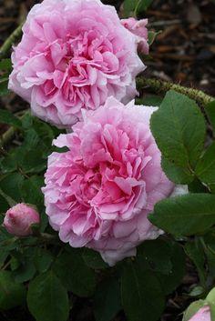 Comte de Chambord est une des meilleures roses anciennes parfumées. Sans doute le plus beau rosier dans cette famille des Portland. Buisson de 1 m à port dressé, vigoureux avec un joli feuillage vert clair. Bouton de belle forme, s'ouvrant en rose lilacé, fleur très double aux pétales enroulés, souvent en quartiers. Parfum sublime. Bonne remontée, assez bonne résistance aux maladies.  Portland, Moreau-Robert, 1860.