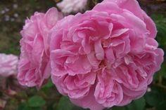 Rosa 'Jeanne de Montfort' - Rosier 'jeanne de montfort', Rosier, Rose 'jeanne de montfort', Rose | Toutes les plantes avec Florum