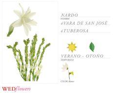 nardos_temporada_verano_argentina_wedflowers_flores_para_tu_casamiento