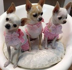 Sale female for adult chihuahua tiny