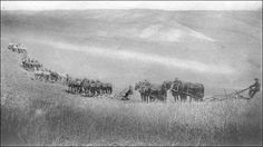 1909 - Walla Walla, Washington Wheat Field Mule Train.