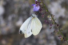 https://flic.kr/p/GvZYKG | Butterfly | The Kamikochi valley