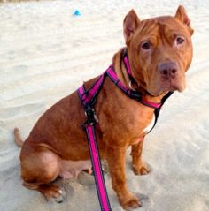 Adopted! Paris is an adoptable Pit Bull Terrier Dog in Spring Lake, NJ. Hi, I'm Paris, a sweet, young, female pit mix. I am already spayed and up-to-date on all my shots. I love to be around people! In f...