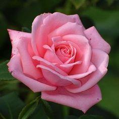 Beautiful Flowers Wallpapers, Beautiful Rose Flowers, Pretty Roses, Flowers Nature, Amazing Flowers, Pretty Flowers, Flor Iphone Wallpaper, Flower Wallpaper, Pink Wallpaper