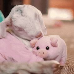 Just a baby goat cuddling his pig teddy via aww on March 21 2018 at 07:10AM
