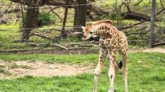 (GIRAFFES/WILDLIFE/CUTE ANIMAL VIDEO) A curious baby giraffe at the Bronx Zoo chases a visitor, a butterfly!