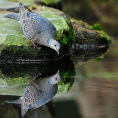 Dove reflection. - Pixdaus on imgfave