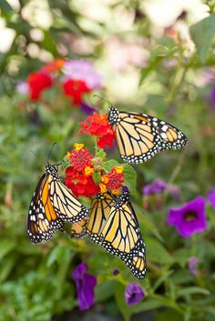 Monarch Butterfly Buffet by The Vermont Wildflower Farm Beautiful Bugs, Beautiful Family, Beautiful Butterflies, Beautiful World, Beautiful Flowers, Butterfly Kisses, Butterfly Wings, Butterfly Quotes, Animal Photography