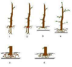 taille des racines trouvé sur http://www.parlonsbonsai.com/du-prebonsai-au-bonsai