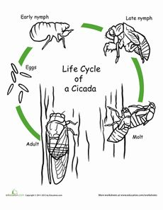First Grade Life Science Animals Worksheets: Color the Life Cycle: Cicada Teaching Science, Science Activities, Life Science, Science And Nature, Student Learning, Sequencing Activities, Science Worksheets, Free Worksheets, Science Ideas