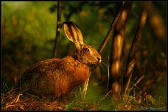 Hare at sunset by Alberto Zafferano, via 500px
