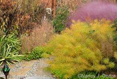 Amsonia hubrichtii and Muhly Grass