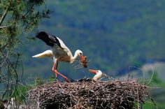 pair of white stork nest by marco branchi on 500px