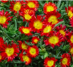 Hardy Ice Plant WOW Fire Wonder Bed under picture windows