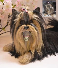 This listing is for a custom needle felted sculpture of your pet ! Send me photos of your Yorkshire Terrier and I will make his/her mini copy :) Yorkshire Terrier Needle felted sculpture This life size unique wool sculpture is made out of natural 100% sheep wool and natural silk fibers #yorkshireterrier