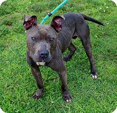 Westampton, NJ - American Staffordshire Terrier. Meet Dozer D-65143, a dog for adoption. http://www.adoptapet.com/pet/13641147-westampton-new-jersey-american-staffordshire-terrier