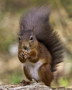 Red squirrel in Abernethy Forest. The Highlands, Scotland. Squirrel Girl, Cute Squirrel, Squirrels, Scottish Animals, Squirrel Feeder, Cairngorms National Park, Fox And Rabbit, Highlands Scotland, Scottish Highlands