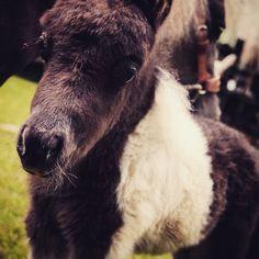 Mota  #miniaturehorse #ponny  #pinies #horselife #caballos #criaderoeltrebol #caballosminiaturas #caballo #miniscolombia