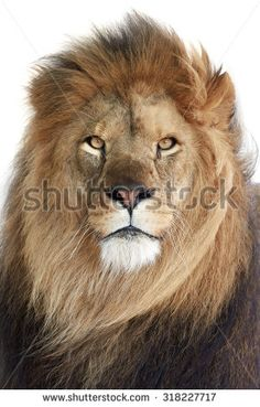 Sold today shutterstock​ #Lion (Panthera leo) #animal #wildlife #male #king http://www.shutterstock.com/pic.mhtml?id=318227717