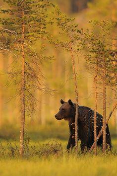 """"""" European Brown Bear """""""